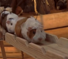 This Outrageous Song About A Guinea Pig Bridge Will Be Stuck In Your Head All Day