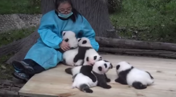 People Want To Pay You To Play With Pandas