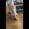 If You Give This Dog A Lemon He Completely Loses His Shit