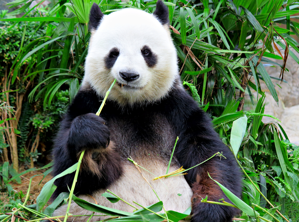Panda Fakes Being Pregnant To Get More Food And A Better Room
