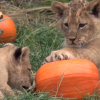 Here's Some Lion Cubs Playing With Pumpkins Because It's Fall And It's Cute